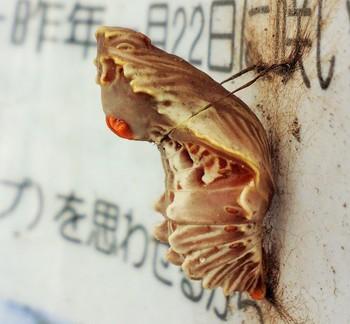 くお菊虫.jpg