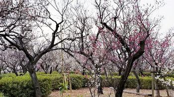 梅園の風景1r.jpg